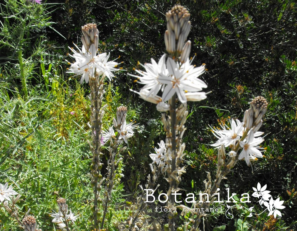 Fiori Bianchi Spontanei.Fiori E Arbusti Della Macchia Mediterranea Asphodelus Aestivus