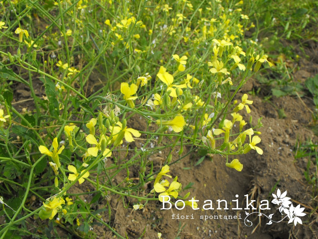 Arbusto A Fiori Gialli fiori dei campi di grano : raphanus raphanistrum l.