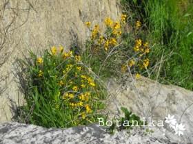 Fiori Gialli Macchia Mediterranea.Fiori E Arbusti Della Macchia Mediterranea Ferula Communis L