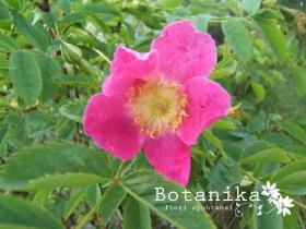 Fiori dei prati aridi e assolati rosa rubiginosa l for I fiori della balsamina